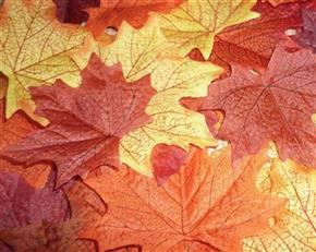 Bag of 25 Autumn Harvest Maple Decorative Leaves